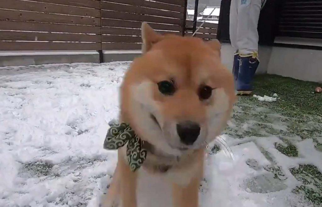 柴犬が人生ではじめての雪に出会った結果→「大興奮して喜びが限界突破」「もう誰にも止められない」
