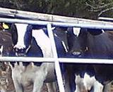牛がアレルギー予防のきっかけとなるか?